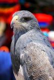 Svart-chested vråk-Eagle på marknaden i Maca, Colca kanjon, Royaltyfri Fotografi