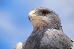 Svart-chested vråk-Eagle på marknaden i Maca, Colca kanjon, Arkivbild