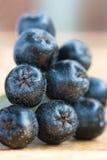 svart chokeberry Royaltyfri Foto