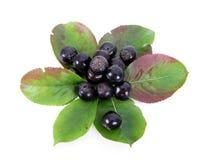 svart chokeberry för aronia Fotografering för Bildbyråer