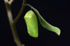 svart chrysalis för bakgrund arkivbilder