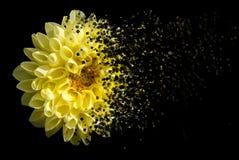 svart chrysanthemum arkivbilder