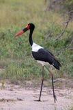svart ciconianigrastork royaltyfri fotografi
