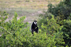 svart colobusapawhite Arkivbild