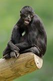 svart colombiansk apaspindel Royaltyfria Bilder