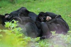svart colombiansk apaspindel Royaltyfri Foto
