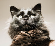 svart coon maine Royaltyfria Foton