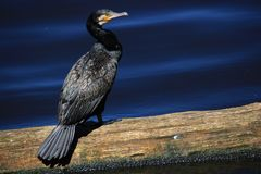 svart cormorant arkivbilder
