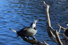 svart cormorant Arkivfoto