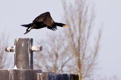 svart cormorantflyg för fågel Royaltyfria Bilder