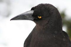 svart currawong Arkivbild