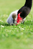 svart cygnetswan royaltyfri foto
