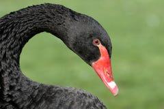 svart cygnusswan för atratus Fotografering för Bildbyråer