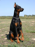 svart dobermansitting Arkivbilder