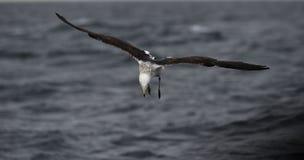 Svart dragen tillbaka brunalgfiskmås Royaltyfri Fotografi