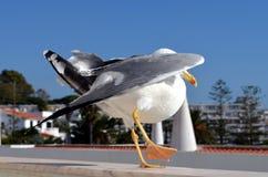 Svart dragen tillbaka fiskmåsdans royaltyfri bild