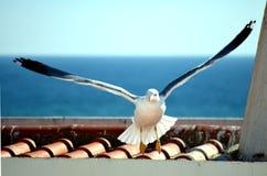 Svart-dragen tillbaka fiskmåslandning på ett tak royaltyfria bilder