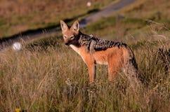 Svart dragen tillbaka jackal Royaltyfria Foton