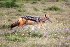 Svart-dragen tillbaka jackal Arkivfoton