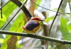 Svart-dragen tillbaka Kingfisher för österlänning dvärg- Kingfisher Arkivfoton