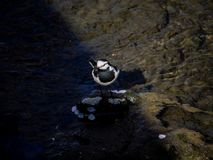 Svart dragen tillbaka sädesärla i en flod arkivfoton