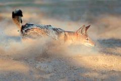 Svart-dragen tillbaka sjakal i damm Arkivfoton