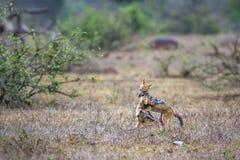Svart-dragen tillbaka sjakal i den Kruger nationalparken, Sydafrika Royaltyfria Foton
