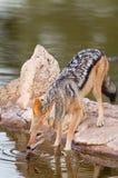Svart dragen tillbaka sjakal på waterhole Arkivfoto