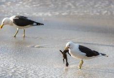 Svart dragit tillbaka äta för brunalgfiskmås behandla som ett barn pingvinet Arkivbild