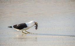Svart dragit tillbaka äta för brunalgfiskmås behandla som ett barn pingvinet Arkivbilder
