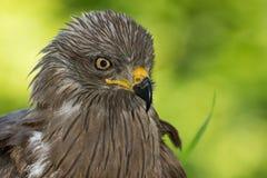 svart drake Arkivfoton