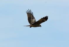 Svart drake (Milvus migrans) Royaltyfri Foto