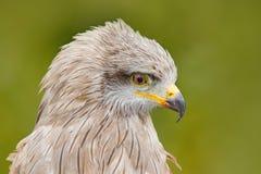 Svart drake, Milvus migrans, brun fågel av filialen för träd för rovsammanträdelärk Djur i naturlivsmiljön Svart drake i skogen Royaltyfri Fotografi