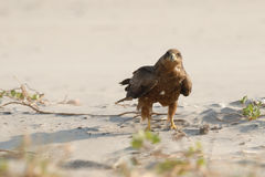 Svart drake på sandstranden Fotografering för Bildbyråer