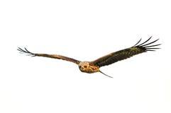 Svart drakefågel i flyg Royaltyfria Foton