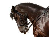 svart dressagehäst Arkivfoto