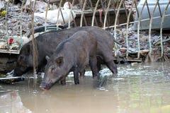Svart dricksvatten för svin två på floden arkivfoton