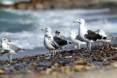 Svart-drog tillbaka fiskmåsar på stranden royaltyfria bilder