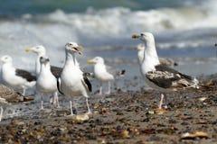 Svart-drog tillbaka fiskmåsar på stranden arkivbild