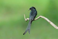svart drongo royaltyfri bild
