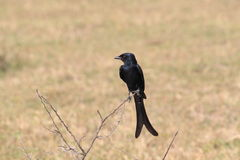 svart drongo Royaltyfria Bilder