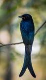 Svart Drongo den magiska fågeln Fotografering för Bildbyråer