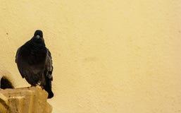 svart duva Royaltyfria Bilder
