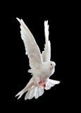 svart duva som flyger fritt isolerad white Royaltyfri Foto