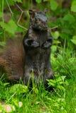 svart ekorre Royaltyfri Fotografi