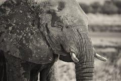 svart elefantståendewhite Royaltyfri Foto