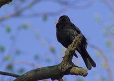 Svart fågel Arkivfoto