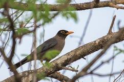 Svart fågel för indier Arkivbild