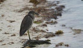 Svart fågel för kronanatthäger Arkivfoton