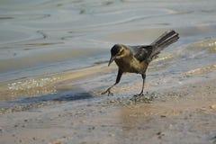 Svart fågel, grackle som går pensively en shoreline Royaltyfria Foton
